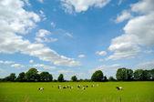 зеленое поле с коз — Стоковое фото