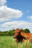 La vache sur le terrain — Photo