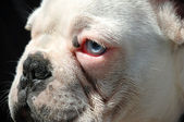 French bulldog face — Stock Photo