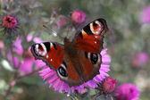 Butterfly (european peacock) — Stock Photo