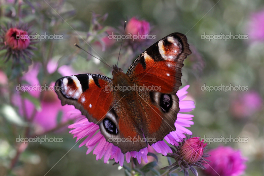 Butterfly (european peacock) sitting on chrysanthemum — Stock Photo #6937004