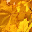 Maple tree — Stock Photo #7132996