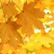Maple tree foliage — Stock Photo
