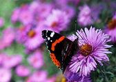 Butterfly on chrysanthemum — Stock Photo