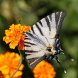Butterfly on marigold flower — Stock Photo #7858979