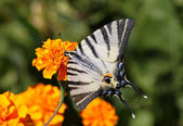 Butterfly on marigold flower — Stock Photo