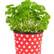 Fresh parsley plant — Stock Photo
