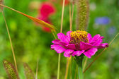 Pink Zinnia flower — Stock Photo