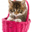 Main coon kitten - Stockfoto
