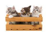 Three little Main Coon kittens — Stock Photo