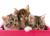 Main coon kittens — Stock Photo