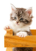 Main coon kitten — Stock Photo