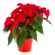 Royalty-Free Stock Photo: Red Christmas Poinsettia