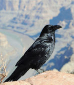 Big black Crow — Stock Photo