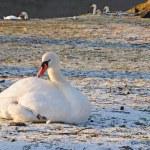 White swan — Stock Photo #7829785