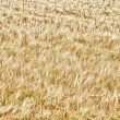 Barley — Stock Photo #7326253