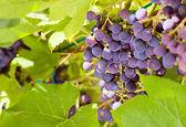 Grape in vineyard. — Stock Photo