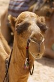 Camel head — Stock Photo