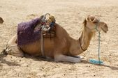 Camels resting — Stock Photo
