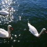 Swans — Stock Photo #7010776