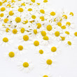 Group of Chamomile flower heads isolated on white background — Stock Photo