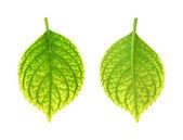 Iron deficiency of Hydrangea macrophylla leaf - chlorosis — Stock Photo