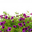 Petunia, Surfinia flowers over white background — Stock Photo