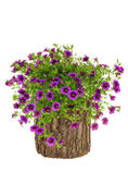 Petunia, Surfinia flowers on tree trunk over white background — Stock Photo