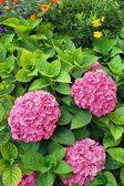 Flowering Hydrangea macrophylla shrubs in garden — Stock Photo