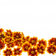 Marigold  flower heads over white background — Stock Photo