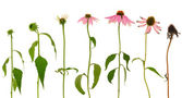 Evolution of Echinacea purpurea flower isolated on white background — Stock Photo