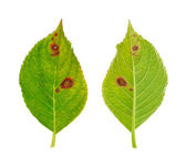 Diseased leaf of Hydrangea serrata Blue Bird — Stock Photo
