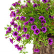 Petunia, Surfiniflowers on tree trunk over white background — Stock Photo #7322633