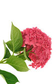 Hydrangea macrophylla flower isolated on white background — Stock Photo