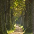 Stock Photo: Alley with oak trees