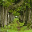 Alley with chestnut trees — Stock Photo
