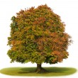 Single beech tree — Stock Photo #7359785