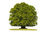 Single linden tree — Stock Photo