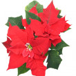Poinsettia (Bethlehem Star) flower — Stock Photo