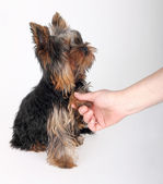 Yorkshire Terriers — Stock Photo