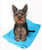 Wet dog after bath — Stock Photo