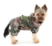 Yorkshire terrier in winter camouflage clothes — Stock Photo