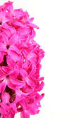 Flower hyacinth — Stock Photo