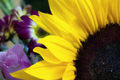 Sunflower closeup with garden behind — Stock Photo