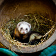 Ferret found a home in an old flower pot and straw - Foto Stock