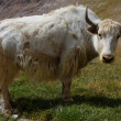 Yak on a pasture — Stock Photo