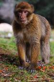 Courious macaque — Stock Photo