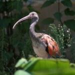 Scarlet Ibis — Stock Photo #7502286