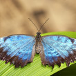 Blue Morpho Butterfly — Stock Photo #6817897