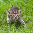 Tabby in the grass — Stock Photo